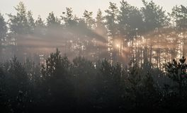 Sunrise in a pine forest. The rays of the sun in the morning shine through the branches of trees in a haze.  royalty free stock photos