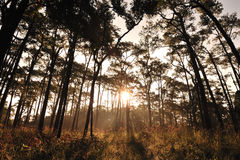 Sunrise in pine forests Stock Photos
