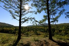 Pine trees forest Stock Photos