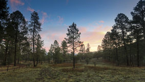 A Sunrise in the Ponderosa PInes Royalty Free Stock Photography