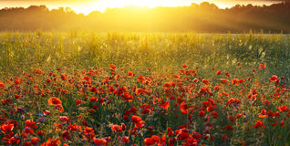 Sunrise poppies Royalty Free Stock Photo