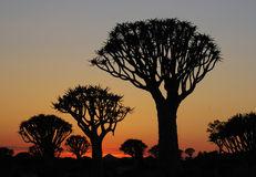 Sunrise in Quiver Tree Forest. Keetmanshoop, Namibia, Africa Royalty Free Stock Photo