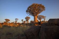 Sunrise at Quiver Tree Forest Royalty Free Stock Photography