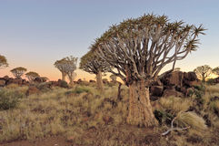 Sunrise at the Quiver Tree Forest, Namibia Royalty Free Stock Photos