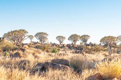 Sunrise at the Quiver Tree Forest Stock Photo