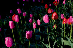 Sunrise red and purple tulips ia a park. Sunrise red and purple tulips with green leafs in a park Stock Photo