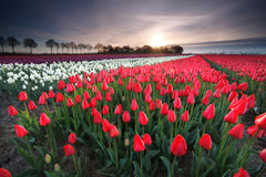 Sunrise on red tulip field Royalty Free Stock Photography