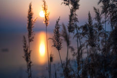 Sunrise through reed. Sunrise on standing water peaceful and sitll Stock Image