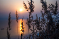 Sunrise through reed. Sunrise on standing water peaceful and sitll Stock Photos