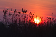 Sunrise among reeds Royalty Free Stock Photos