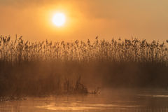 Sunrise among reeds Stock Image