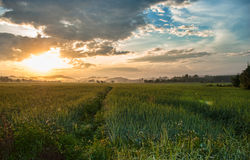 Sunrise. And the rice field Stock Photos