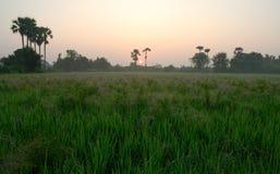 Sunrise of rice field Royalty Free Stock Photos