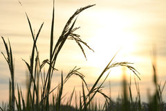 Sunrise on rice field. Royalty Free Stock Images