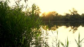 Sunrise on the riverbank. Landscape with reeds on first plan and warm sun through trees on river