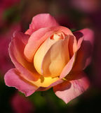 Sunrise Rose. A yellow and pink gradient rose opening in morning light stock photo