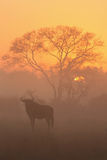 Sunrise in Sabi Sands. Misty sunrise in Sabi Sands, with Wildebeest and acacia tree Royalty Free Stock Photos
