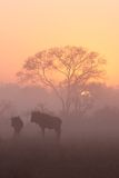 Sunrise in Sabi Sands Stock Images