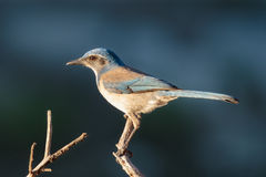 Sunrise Scrub Jay. A Western Scrub Jay at sunrise on the lake shore Stock Image