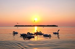 Sunrise at sea. With beautiful swans royalty free stock photos