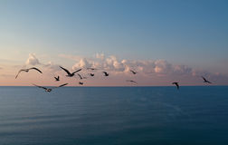 Sunrise sea and cormorants. Flying cormorants on the background of sunrise sky and sea Stock Image