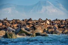 Sunrise at Seal Island. South African Cape fur seals Arctocephalus pusillus pusillus. Colony of cape fur seals. False Bay, Western Cape, South Africa, Africa stock photos