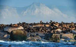 Sunrise at Seal Island. South African Cape fur seals Arctocephalus pusillus pusillus. Colony of cape fur seals. False Bay, Western Cape, South Africa, Africa stock photography