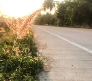 The sunrise shines on flower  grass, road beside. The sunrise, the golden light shines on the flower of grass, the road beside the windy summer morning from royalty free stock photography