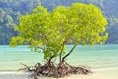 Sunrise shining on mangrove tree at the beach. The mangrove tree has light green colour leafs once the sun shining in the morning time while blue sea and white stock image