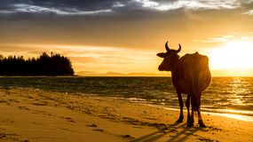 Sunrise silhouette of a cow Stock Photo