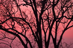 Sunrise silhouette. The sunrise at Phu Reau Loei Thailand making the tree as silhouette. With the pink and red of morning sky, it make the scene is so beautiful Stock Photography