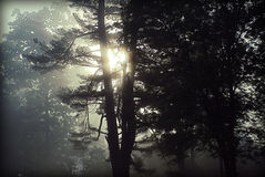 Sunrise. Silhouette of trees with the morning sunlight shining through the branches in the fog Royalty Free Stock Photography