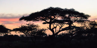 Sunrise sky silhouetting  Acacia trees Royalty Free Stock Images