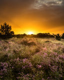 Sunrise and a small field of heather. Sunrise at a small field of heather plants. The rainclouds are colouring the sky in a nice red color stock photography
