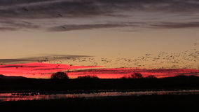 Sunrise Snow Geese stock video footage
