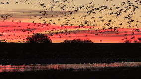 Sunrise Snow Geese Flyout stock video