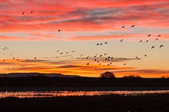 Sunrise Snow Geese Royalty Free Stock Photography