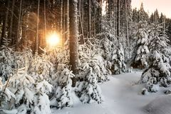 Sunrise in a snowy forest royalty free stock photography