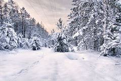 Sunrise in snowy forest Royalty Free Stock Photo