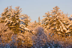Sunrise on snowy pine trees Royalty Free Stock Photos