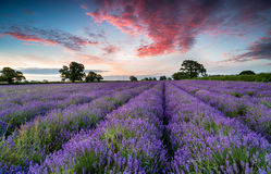Sunrise in the Somerset countryside. Sunrise over a filed of Lavender growing in the Somerset countryside stock images