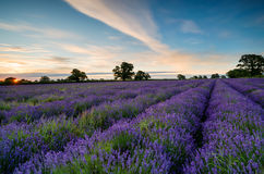 Sunrise in Somerset. Sunrise over a field of lavender blooming in the Somerset countryside stock image