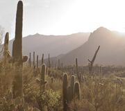 Sunrise in the Sonoran Desert over saguaro cacti. Sunrise in the Sonoran Desert with a hillside of saguaro cacti and a mountain range in the background Royalty Free Stock Images