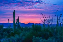 Sunrise on Sonoran Desert. Saguaro Cacti silhouetted against a pink Arizona sky stock images