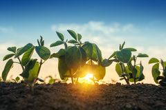 Sunrise in soybean field stock photography