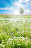 Sunrise in Spring field, daisy flowers Royalty Free Stock Image