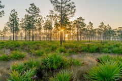 Sunrise Through a Stand of Pine Trees Stock Photography