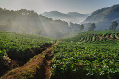 Sunrise at strawberries farm in Thailand Stock Photography
