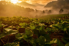 Sunrise at Strawberry farm Royalty Free Stock Photography