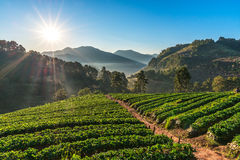 Sunrise at Strawberry garden at Doi Ang Khan Stock Photo